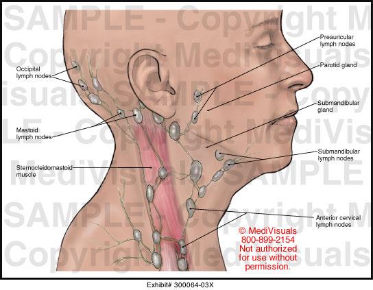 Throat anatomy glands