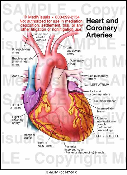 Anatomy of the heart arteries