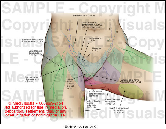 Female Pelvic Cutaneous Nerves Medical Illustration ...