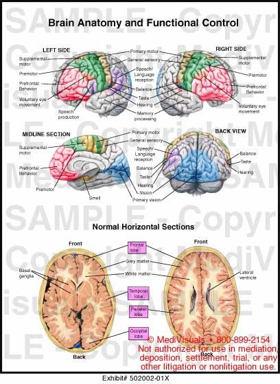 Anatomy brain function