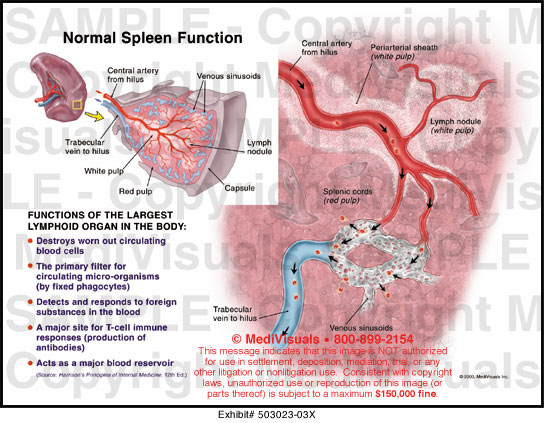 what is the function of the spleen f--f 2017, Human body