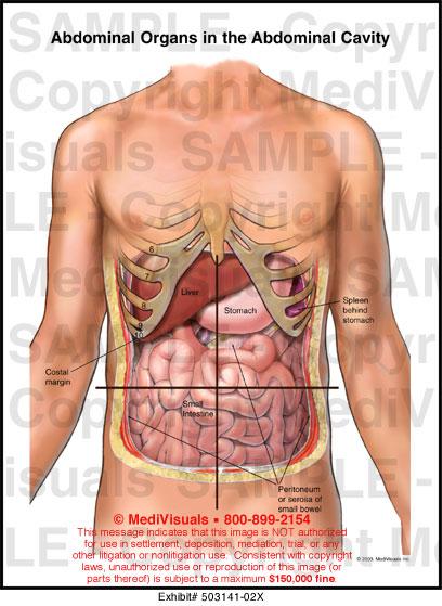 Abdominal Cavity - 503141-