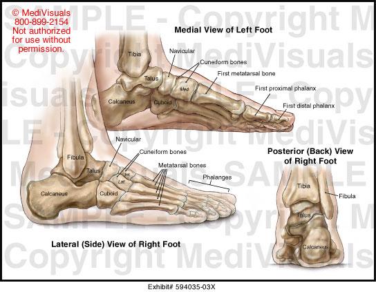 Left Foot Bones Anatomy Lektonfo