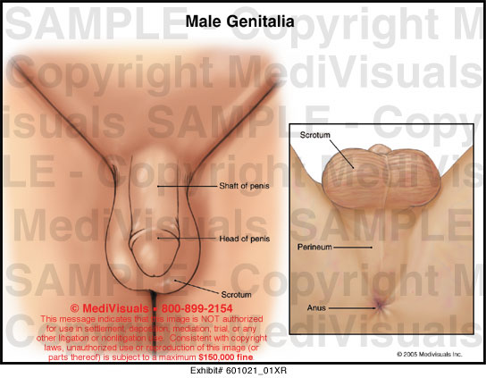 Male Genitalia Medical Exhibit