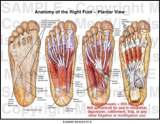 foot anatomy: